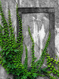 Vieux mur avec le lierre Photo libre de droits