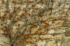 Vieux mur de briques avec le lierre Images libres de droits