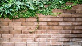 Vieux mur de briques de texture couvert dans le lierre image libre de droits