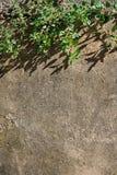 Vieux mur en béton avec la branche de l'arbre Image libre de droits