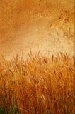 Vieux mur merveilleux et blé mûr collés là-dessus. Photos libres de droits