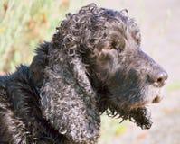 Vieux noir de chien Photographie stock libre de droits