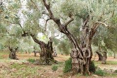 Vieux oliviers photo stock