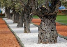 Vieux oliviers méditerranéens dans le verger Image stock