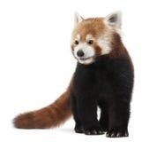 Vieux panda rouge ou chat brillant, fulgens d'Ailurus Image stock