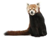 Vieux panda rouge ou chat brillant, fulgens d'Ailurus Photographie stock