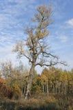 Vieux peuplier (populus nigra) en automne Photos stock