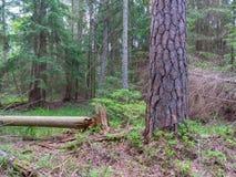 Vieux pin en été Photos libres de droits