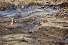 Vieux pin humide de fond en bois naturel Jour de source ensoleillé Image libre de droits