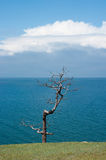 Vieux pin, lac Baikal Photos libres de droits