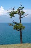 Vieux pin, lac Baikal Photographie stock