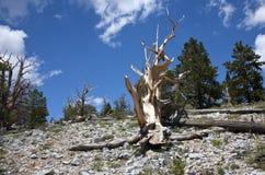Vieux pin noué de cône de brin Image stock