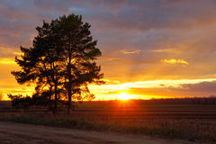 Vieux pin sur le fond de champ au coucher du soleil Photos libres de droits