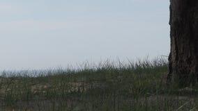 Vieux pin sur le rivage du golfe de Finlande banque de vidéos