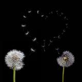 Vieux pissenlits et symbole de coeur des graines de vol sur le noir Photo stock