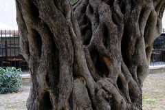 Vieux plan rapproché de tronc d'olivier Photo libre de droits