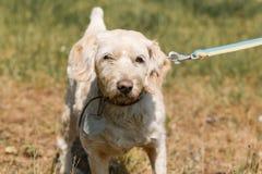 Vieux plan rapproché loyal sérieux de visage de chien sur une laisse en parc, whi Images stock