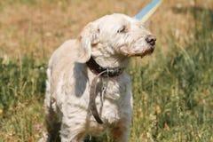 Vieux plan rapproché loyal sérieux de visage de chien sur une laisse en parc, whi Photo libre de droits