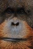 Vieux plan rapproché mâle d'orang-outan images stock