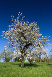 Vieux pommier dans la pleine fleur Images stock