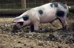 Vieux porc d'endroit de Gloucestershire Photo libre de droits