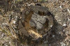 Vieux, putréfié tronçon d'arbre qui a mangé les insectes Image libre de droits