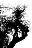 Vieux recurvata Hemsl de Nolina. - silhouette Photos libres de droits