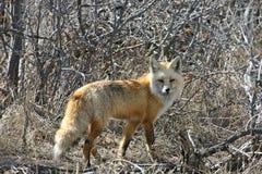 Vieux renard astucieux Photographie stock libre de droits