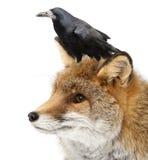 Vieux renard rouge, vulpes de Vulpes, 15 années Image stock