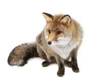 Vieux renard rouge, vulpes de Vulpes, 15 années Images stock