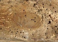 Vieux rondin avec des trous de ver de bois Image stock