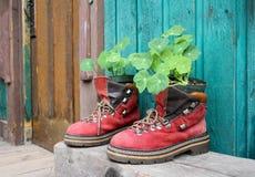 Vieux rouge augmentant des chaussures comme pot de fleur Photo stock