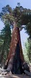 Vieux séquoia géant grisâtre dans Yosemite Image libre de droits