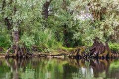 Vieux saules réfléchis sur l'eau Photo libre de droits