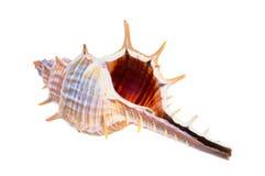 Vieux seashell image stock