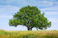 Vieux seul arbre de chêne photos stock