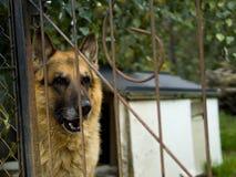 Vieux shepard allemand dans la cage image stock