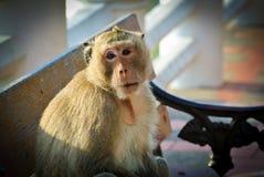 Vieux singe Photographie stock
