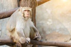 Vieux singe se reposant sur une branche d'arbre avec le fond de mur en pierre et de lumière du soleil Image libre de droits