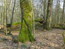 Vieux support à feuilles caduques de printemps Photo libre de droits
