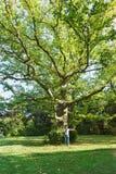 Vieux sycomore énorme d'arbre ou lat d'arbre plat Platanus dans Sunny Park du palais de Vorontsov dans Alupka image libre de droits