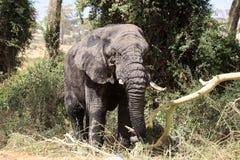Vieux taureau d'éléphant Images libres de droits