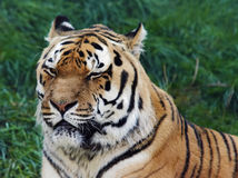 Vieux tigre sibérien Photo libre de droits