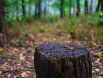 Vieux tronçon d'arbre après coupure d'un arbre dans le paysage de forêt d'automne de forêt d'automne image libre de droits