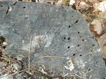 Vieux tronçon d'arbre avec des trous de termite photo libre de droits