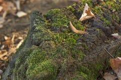 Vieux tronçon en bois de mousse dans la forêt le jour ensoleillé Images stock