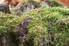 Vieux tronçon, mousse, cônes de sapin dans la forêt d'automne images libres de droits