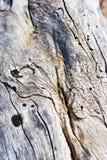 Vieux tronc d'arbre criqué avec des trous des termites, fond trouble gris photo stock