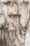 Vieux tronc d'arbre sec criqué lisse photographie stock libre de droits