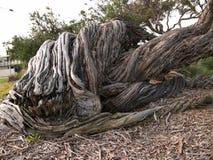 Vieux tronc d'arbre sec dans la région de parc public photo libre de droits